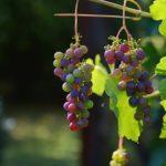Vindruer og de gode antioxiodanter