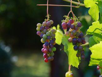 Vindruer og antioxiodanter