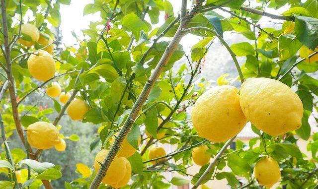Citroner for dit immunforsvar