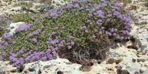 Timian - Det duftende krydderi som er godt for halsen
